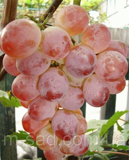 Саженцы винограда Фламинго(арочный,ср,срок),-22