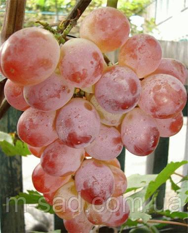 Саженцы винограда Фламинго(арочный,ср,срок),-22, фото 2