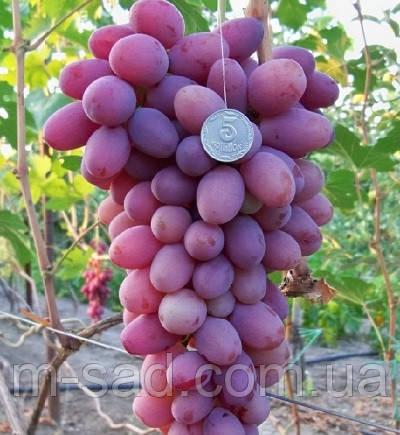Саженцы винограда Атаман-24,крупный,вкус гармоничный)