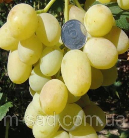 Саженцы винограда Ландыш(очень крупный,урожайный,-21