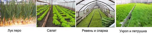 Промышленное выращивание зелени в теплице