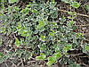 Бересклет вечнозеленый 'Emerald Gaiety'