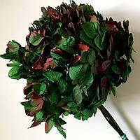 Гортензия зелено-красная, фото 1