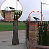 Ворон для отпугивания голубей Chomik, фото 6