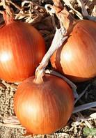Семена лука Амбра F1 250 000 сем. Agri.