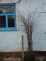 Саженцы клен, граб, бук, ясень, дуб,  липа, береза, каштан, акация для живых изгородей, живоплотов.
