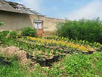 Саженцы; ель, сосна, смерека, пихта, модрына, туя, кипарис, можжевельник для живых изгородей., фото 1