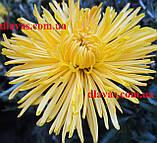 Хризантема СЕКОЙ (низька) бордюрна, фото 4