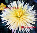 Хризантема СЕКОЙ (низька) бордюрна, фото 7