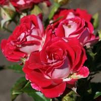 Роза спрей Руби Стар класс А саженец.
