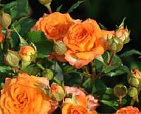 Роза спрей Оранжевая класс А
