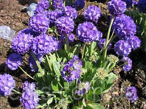 Примула мелкозубчатая лиловая, фото 2
