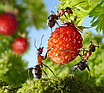 """Средство для уничтожения садовых муравьев и  других вредителей инсектицид """"Муравей НЕТ"""" 120гр (гранула), фото 4"""