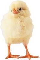 Суточные цыплята-бройлера 35 руб Росс-708.Симферополь.Весь Крым.
