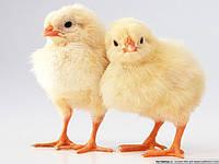 Суточные цыплята-бройлеров кросс кобб-500.Чешская Республика!