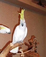 Большой желтохохлый какаду / Cacatua galerita. (докормыш)