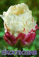 Тюльпан попугаевидный Ice Cream 11/12
