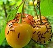 """Средство для уничтожения муравьев и других вредителей порошок """"Муравей НЕТ"""" 30гр, фото 2"""
