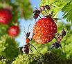 """Средство для уничтожения муравьев и других вредителей порошок """"Муравей НЕТ"""" 30гр, фото 3"""