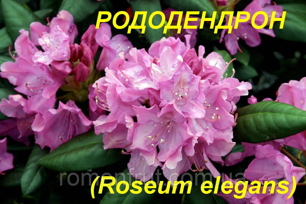 """Саженцы Рододендрона """"Roseum Elegans"""" (ЗКС) 2 г."""