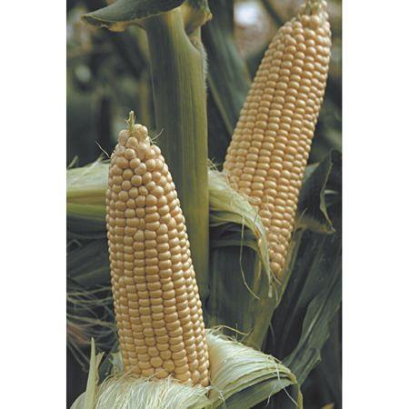 Насіння кукурудзи солодкої Вега F1 (5 кг) May Seed