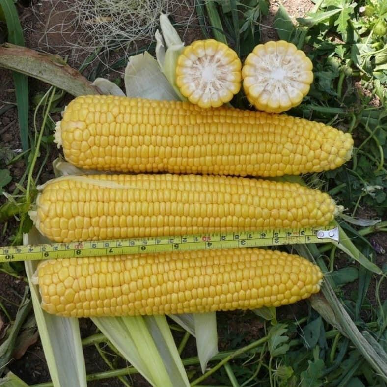 Насіння кукурудзи солодкої Карамелло F1 (500 г) May Seed