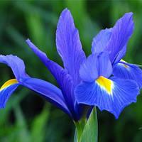 Ирис Blue Magic (луковичное )набор из 5 шт