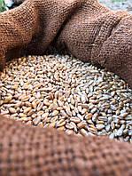 Пшеница на микрозелень 1 кг.