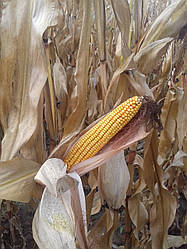 Семена кукурузы Максима, ФАО 580