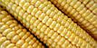 Насіння цукрової кукурудзи Дейнеріс 100 шт, фото 2