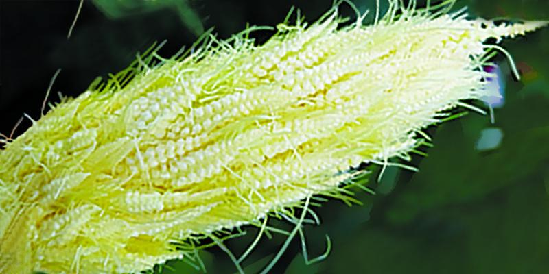 Насіння цукрової кукурудзи Діадема 10 шт