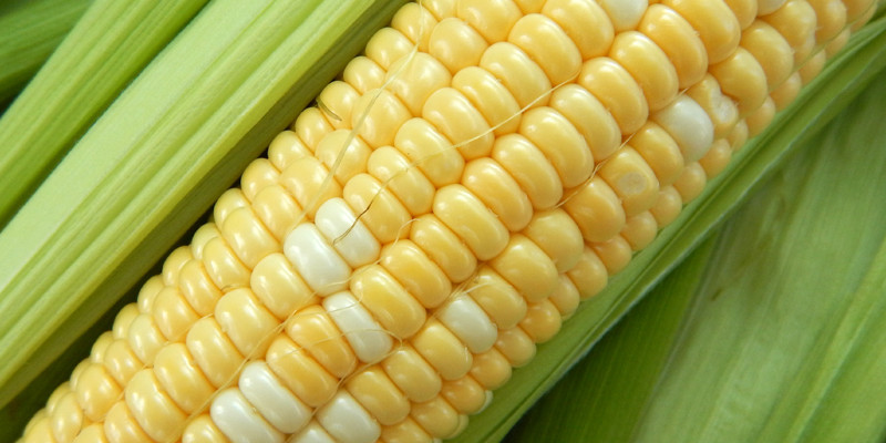 Насіння цукрової кукурудзи Мармурова 100 шт