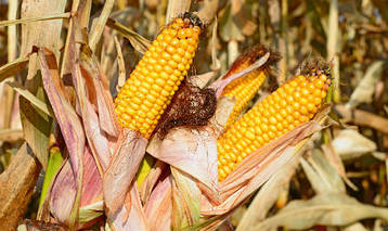 Насіння кукурудзи Гран 220