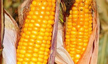 Насіння кукурудзи Гран 310