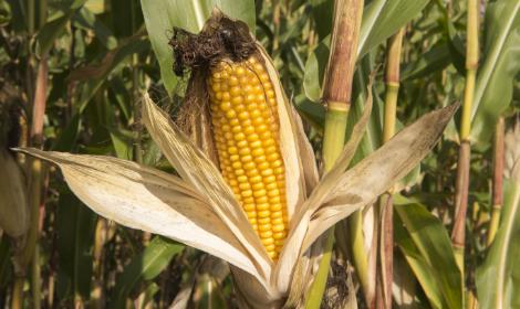 Насіння кукурудзи Гран 1