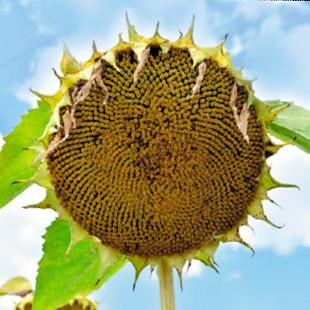 Насіння соняшника Вінченцо Під Гранстар фракція стандарт