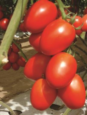 Сливовидний індетермінантний томат Гранадеро F1/Granadero, Enza Zaden, 250 насінин