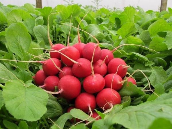 Каліброване насіння редису фракція 2,75-3,0 Селеста F1/Celesta Enza Zaden, 50000 насінин