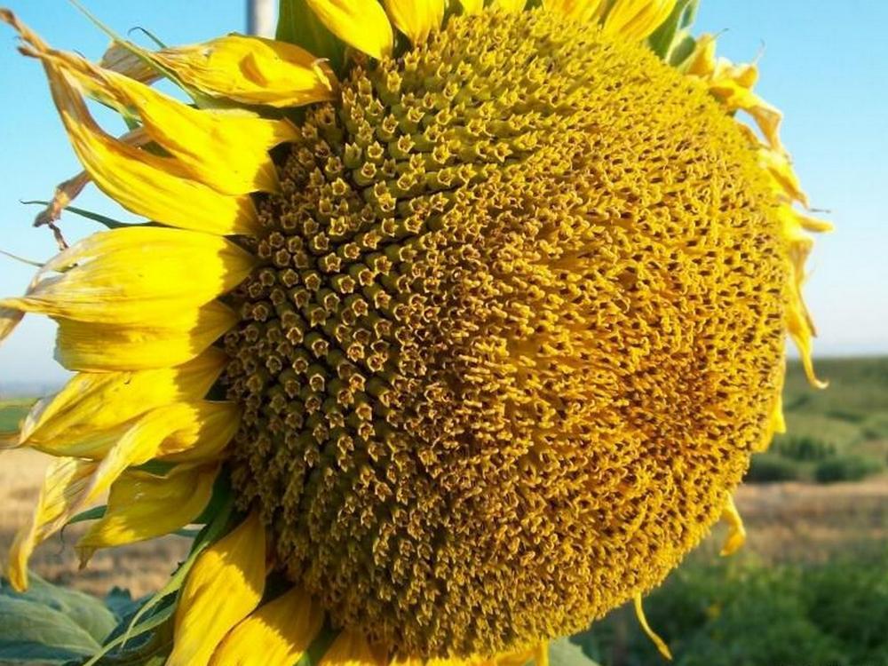 Насіння соняшника Нертус Рімісол стандарт