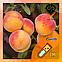 Ароматизатор Capella Juicy Peach| Сочный персик, фото 2