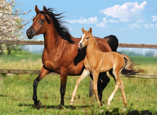Пазлы Лошадь и жеребенок на 260 элементов