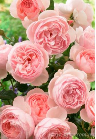 Розы натуральный гидролат из сухих лепестков 100мл - для кремов и косметики, умывания, лучший тоник!