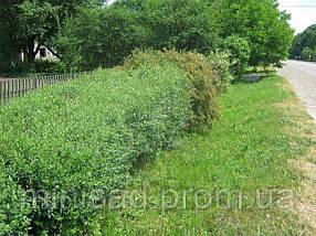 Продажа. Живая изгородь с бирючины. Цены в Киеве. Недорого. Зеленый забор, фото 3