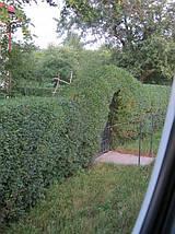 Продажа. Живая изгородь с бирючины. Цены в Киеве. Недорого. Зеленый забор, фото 2