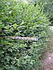 Граб, бирючина, свидина, липа, бук, боярышник, туя, самшит и др. растения для жывой изгороди. Недорого. Киев