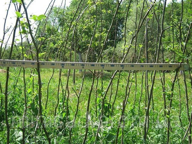 Растения для живой изгороди. Цены, размеры и варианты посадки