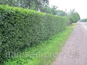 Граб обыкновенный для живой изгороди. Дешево оптом Киев, фото 2