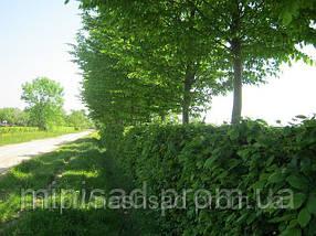 Граб обыкновенный для живой изгороди. Дешево оптом Киев, фото 3