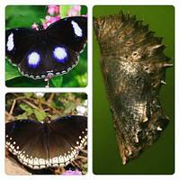 Куколка бабочки Hypolimnas bolina