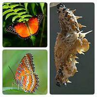Куколка бабочки Cethosia biblis
